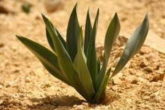 Wüstenpflanze in Dana