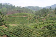 Teeplantagen von Ella