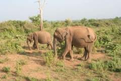 Indische Elefanten streifen umher