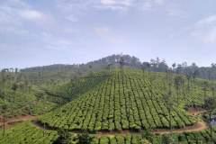 Blick über saftig grüne Teeplantagen