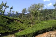 Inmitten von Teeplantagen