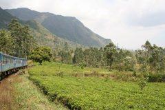 Fahrt durch Teeplantagen